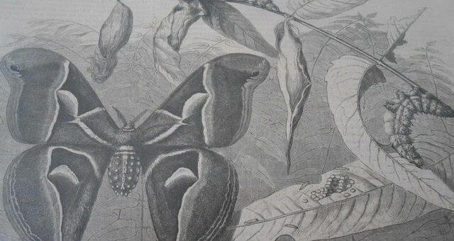 Bombyx-Cynthia-ver-à-soie-de-l'Ailante-ou-vernis-du-Japon-importé-en-France-par-M.Guérin-Méneville