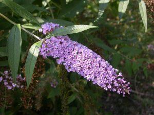 Le buddleia ou arbre à papillons